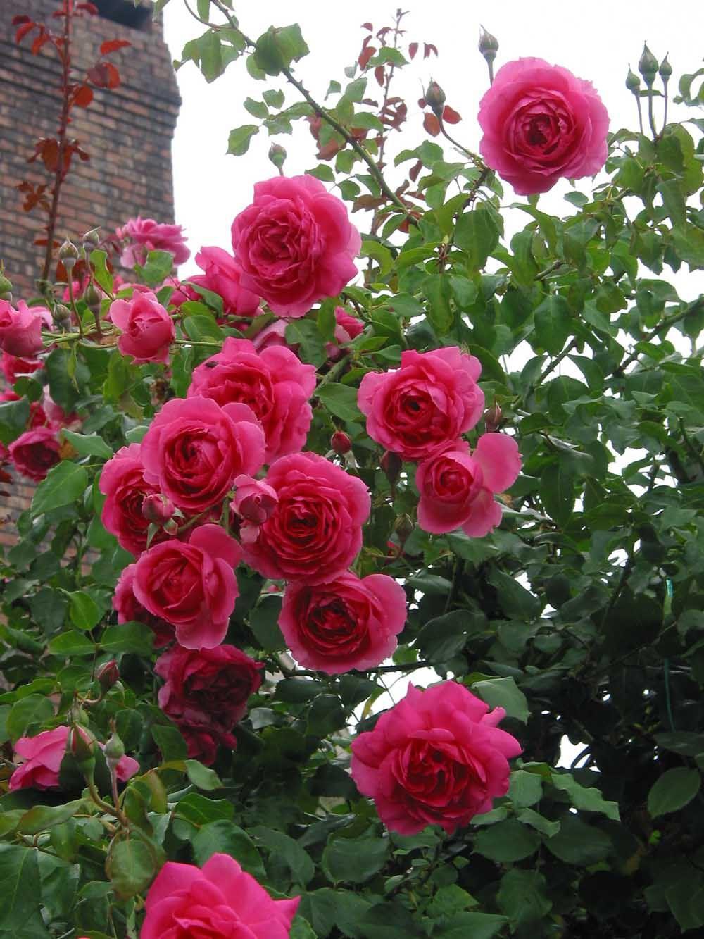 Parade climbing rose questions roses forum gardenweb garden love pinterest gardens - Rose cultivars garden ...
