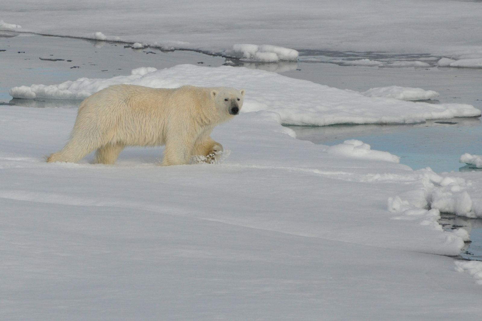 Did you know polar bears live to about an average of 25 years?