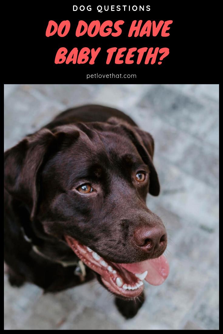 Do Dogs Have Baby Teeth Dogs having babies, Dog teeth