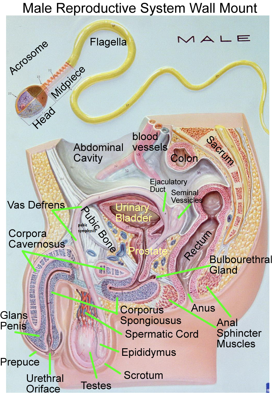 Male Reproductive System | Anatomy and Physiology Models | Pinterest ...