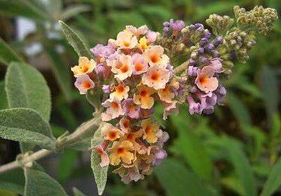Buddleia x weyeriana BiColor Butterfly Bush