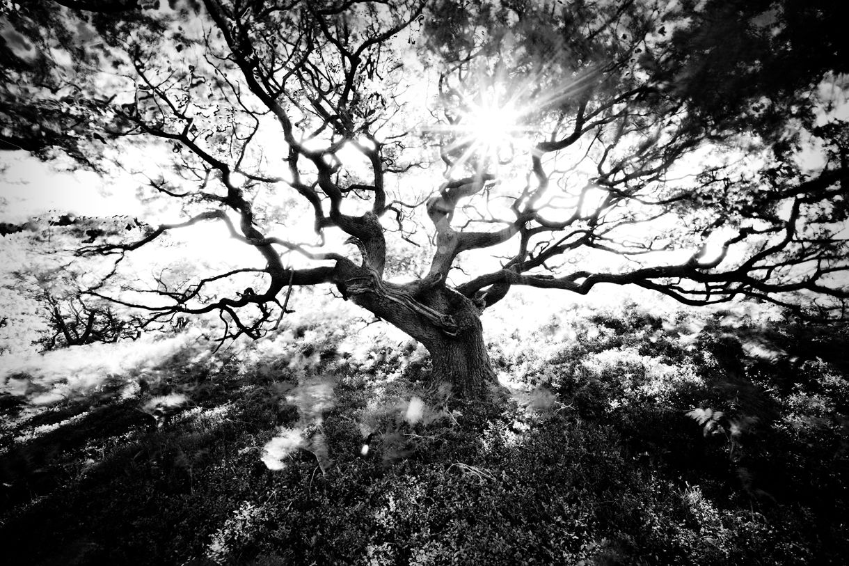 ansel adams trees | Ansel Adams Tree Tree line 1 | ravens ...