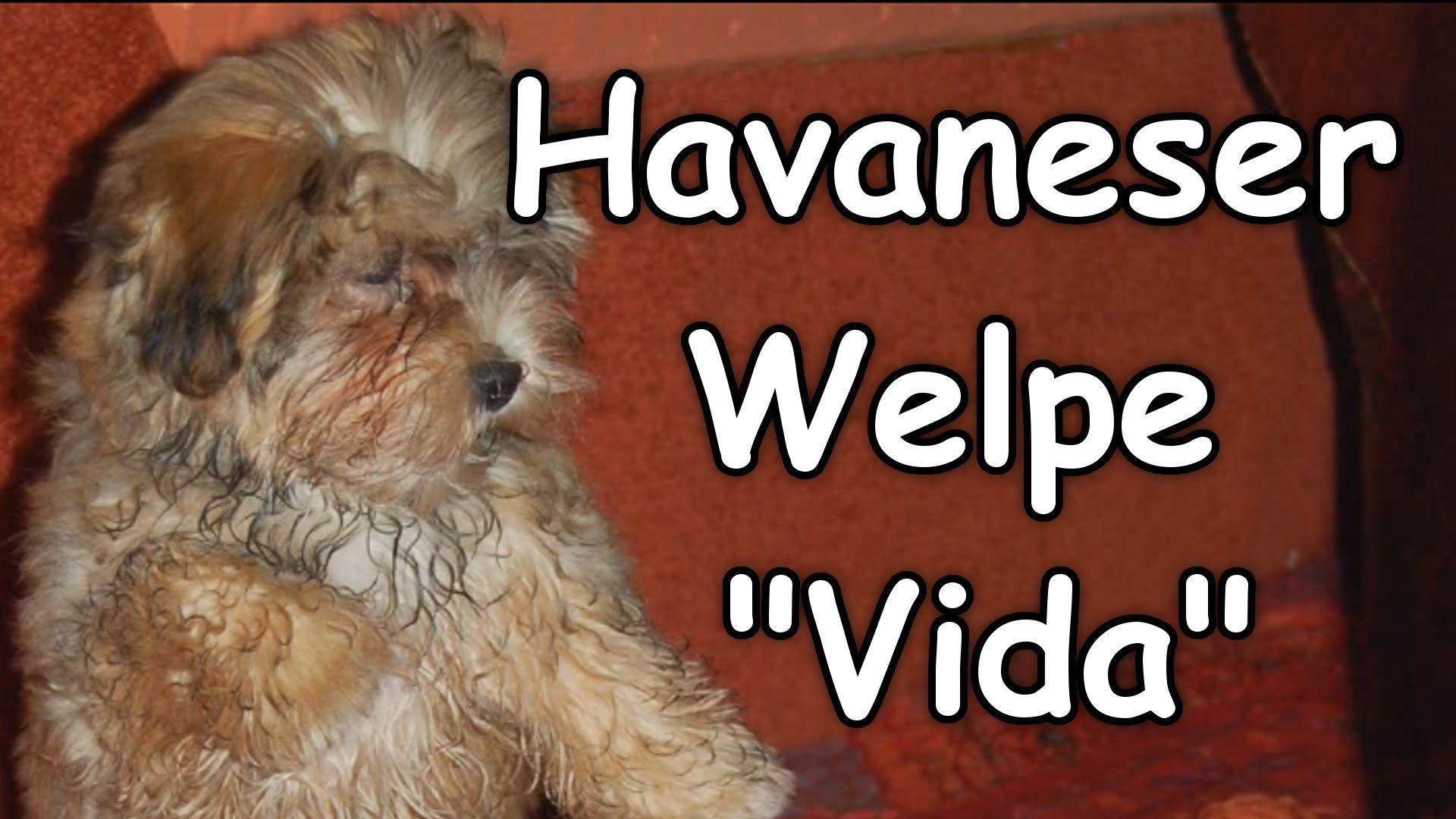 Hier ist meine Havaneser Hündin noch ein Welpe.