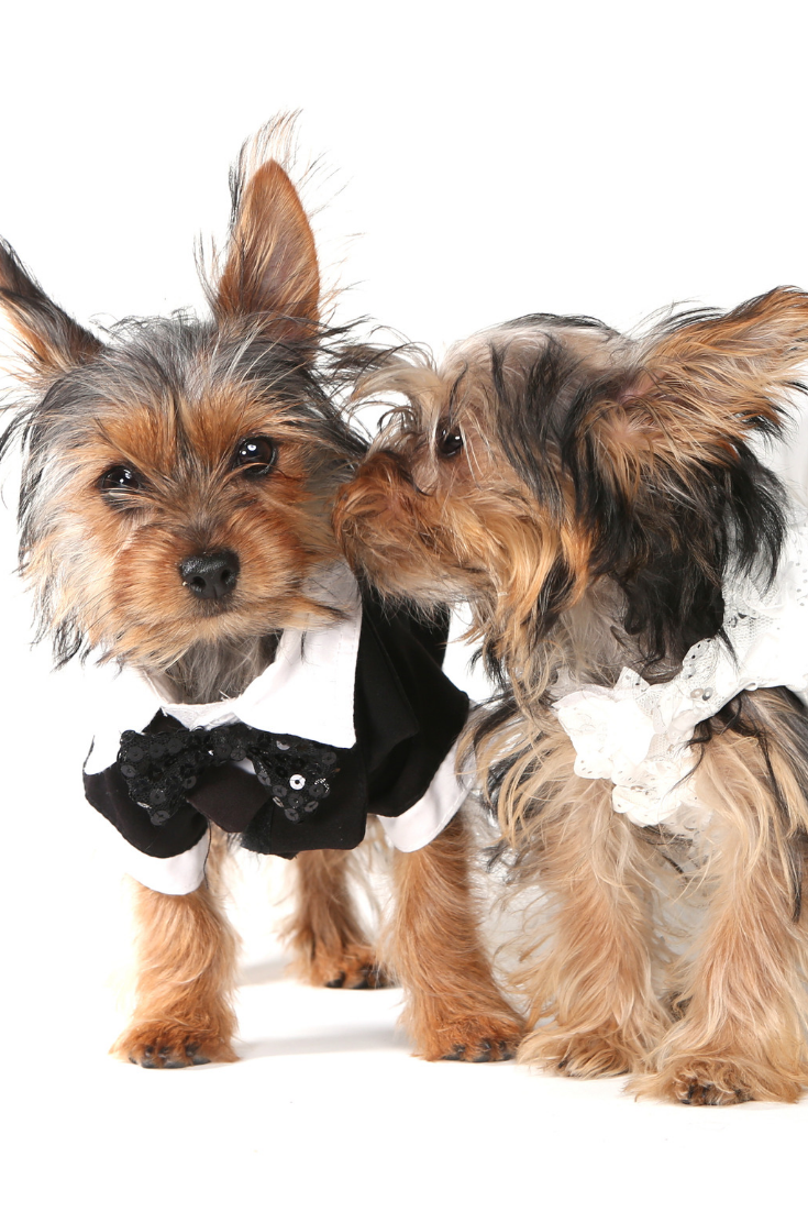 Bridal Couple Yorkshire Terrier Puppies On White Background Yorkshireterrier Yorkshire Terrier Yorkshire Terrier Puppies Terrier