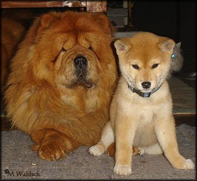 I Grew Up With A Chow Chow Named Ming And I Declare My Next Dog
