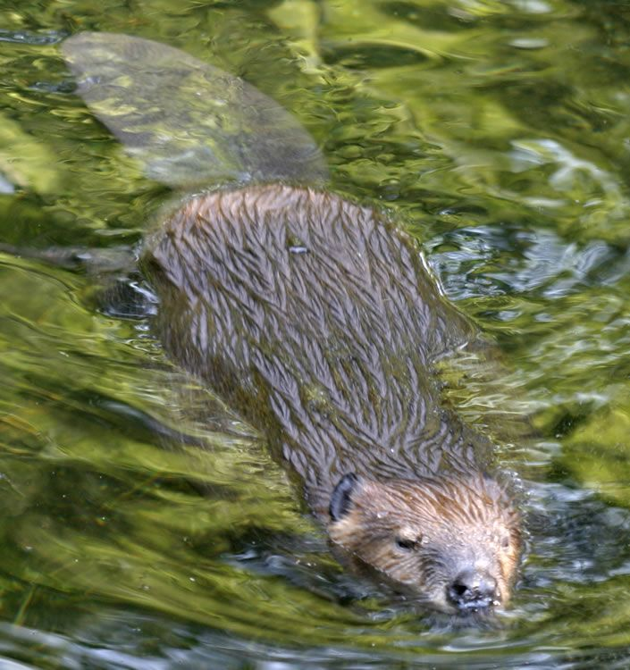 Beaver Castor Canadensis Content From The Washington