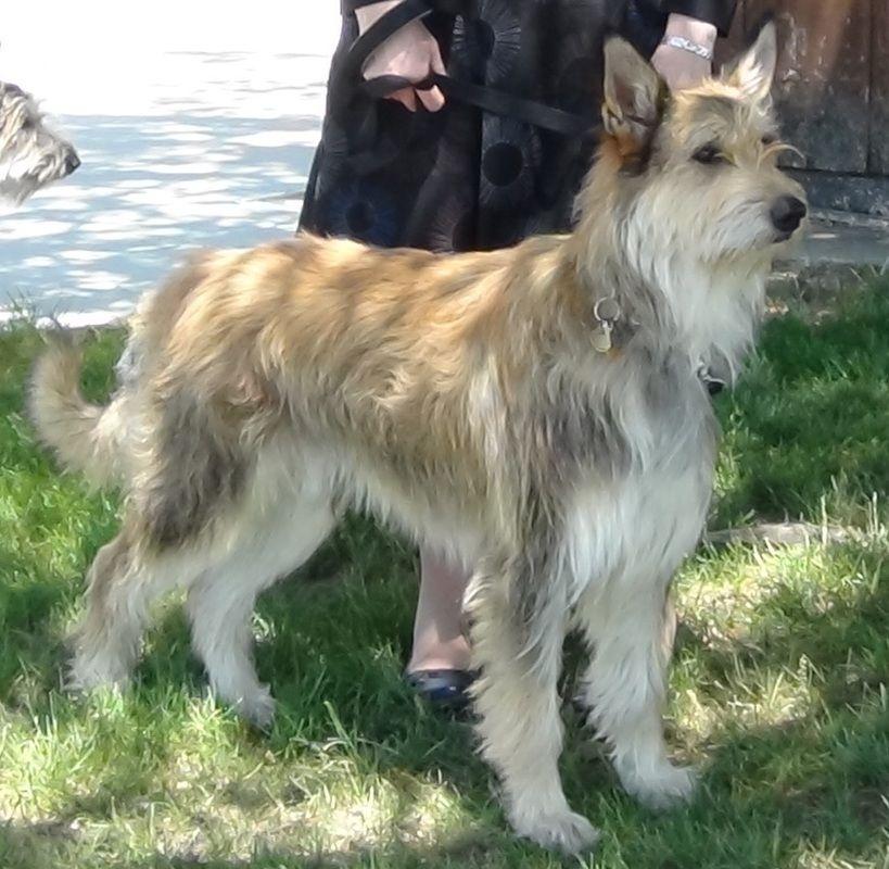 Capstone Berger Picards Shetland sheepdog, Pets dogs breeds