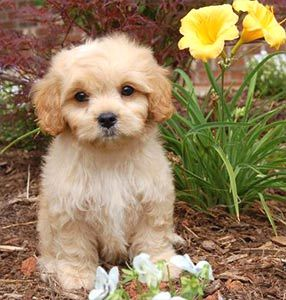 Pets 4 You Cavachons By Jill Cavachon Website We Breed For
