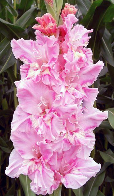 International Gladiolus Flowers Registration Gladiolus Flower Gladiolus Beautiful Flowers Garden