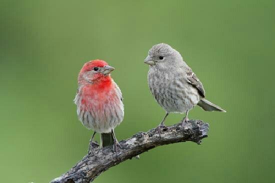 House finches | Backyard birds, Birds, Image