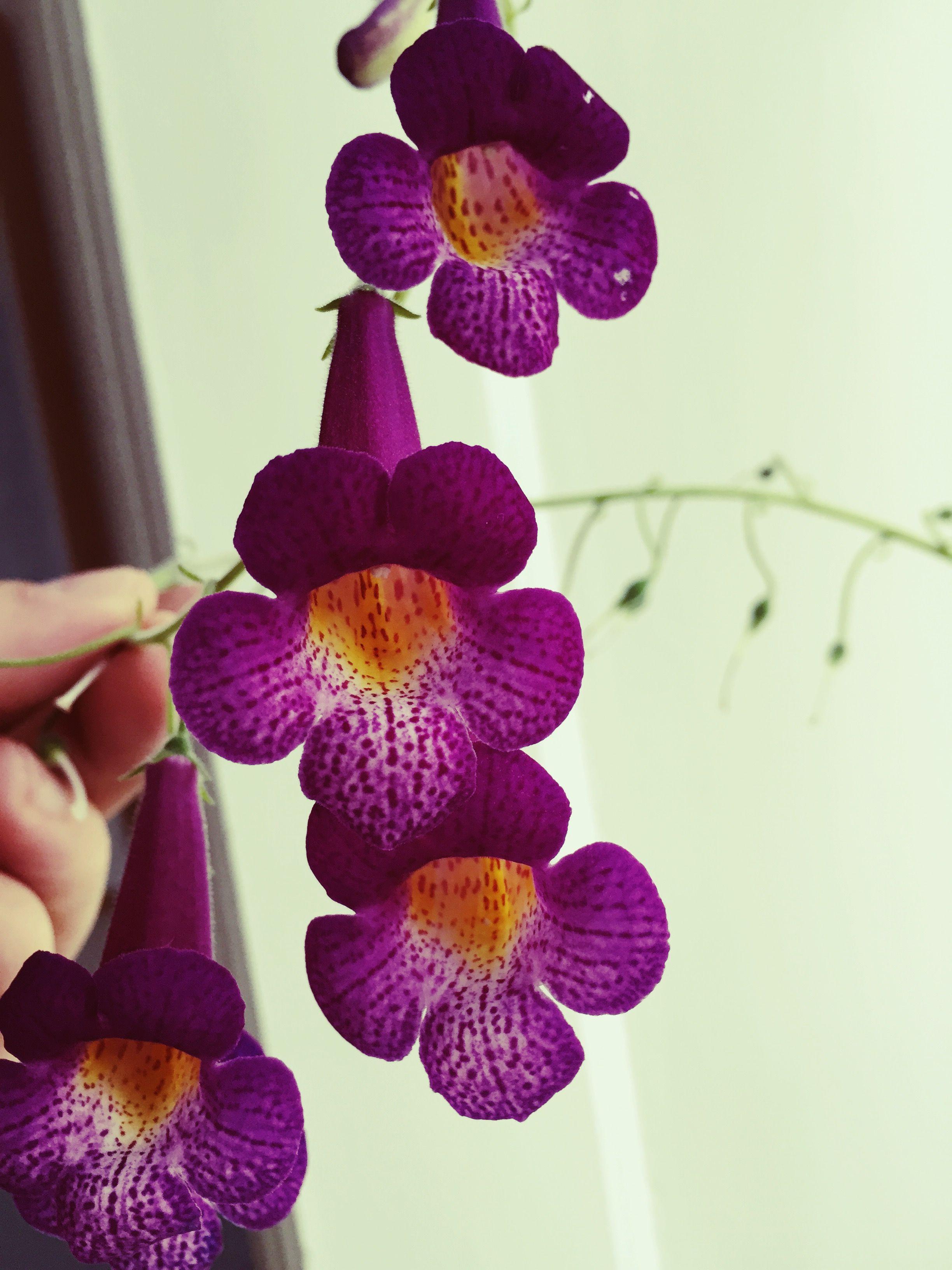 Smithiantha Dale x self Planters, Plants, Garden