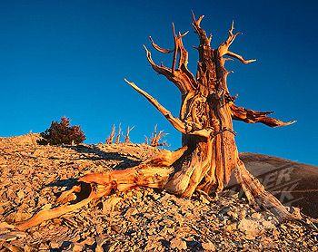 SuperStock - Bristlecone Pine (Pinus longaeva). White Mountains. California. USA.