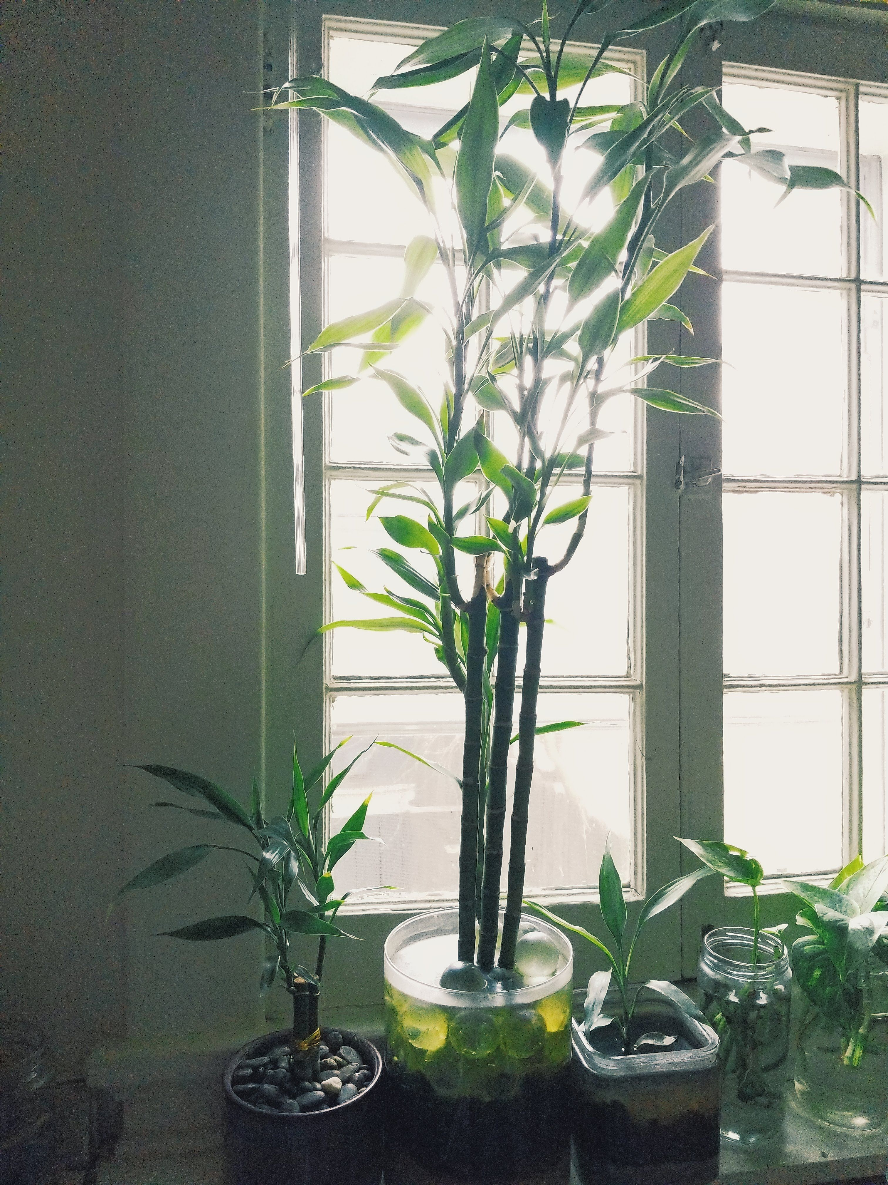 How to transplant your lucky bamboo in 2020 lucky bamboo