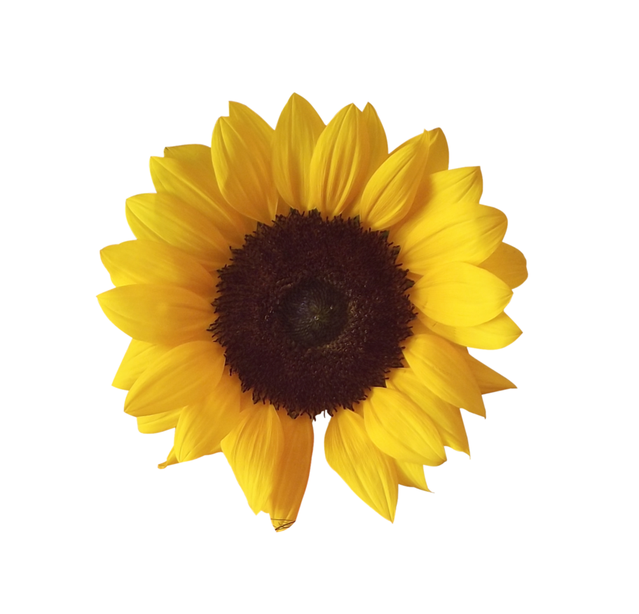 Sunflower PNG Image Love png, Overlays picsart