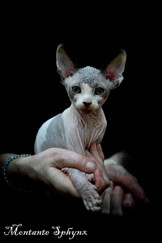 Sphynx Kittens Taking Bookings Now For Sale Kittens Cats And Kittens Sphynx