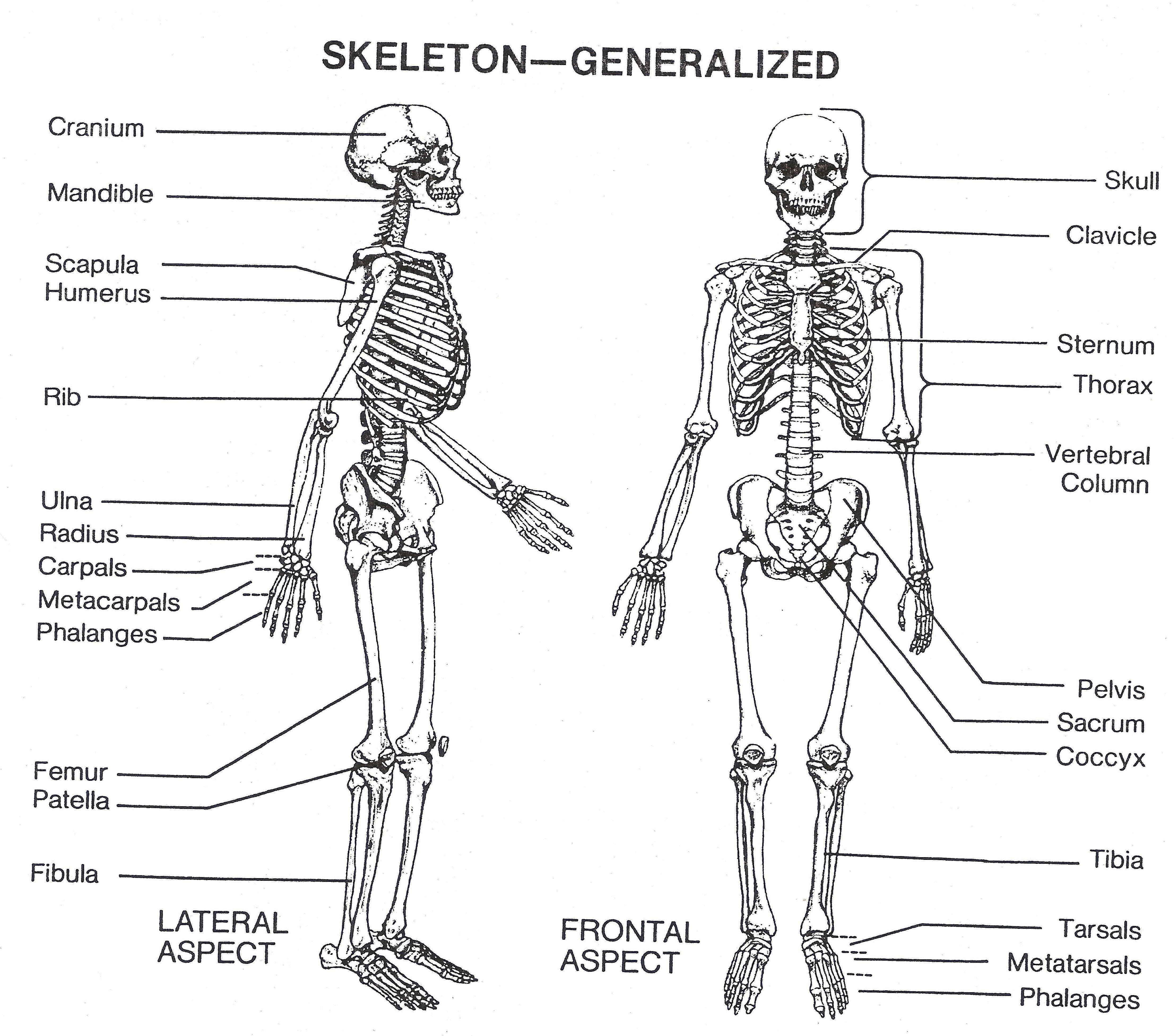 hight resolution of blank skeleton diagram to label front and back of the outstanding