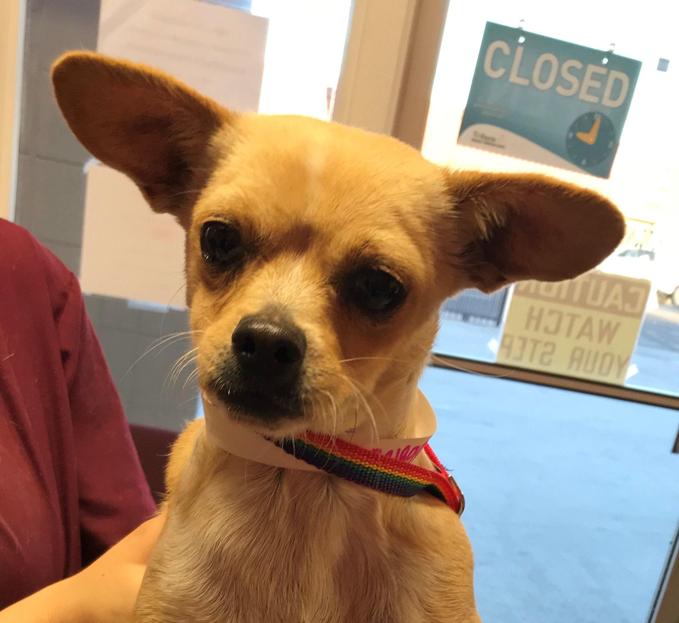 Chug Dog For Adoption In Seattle Wa Adn 779769 On Puppyfinder