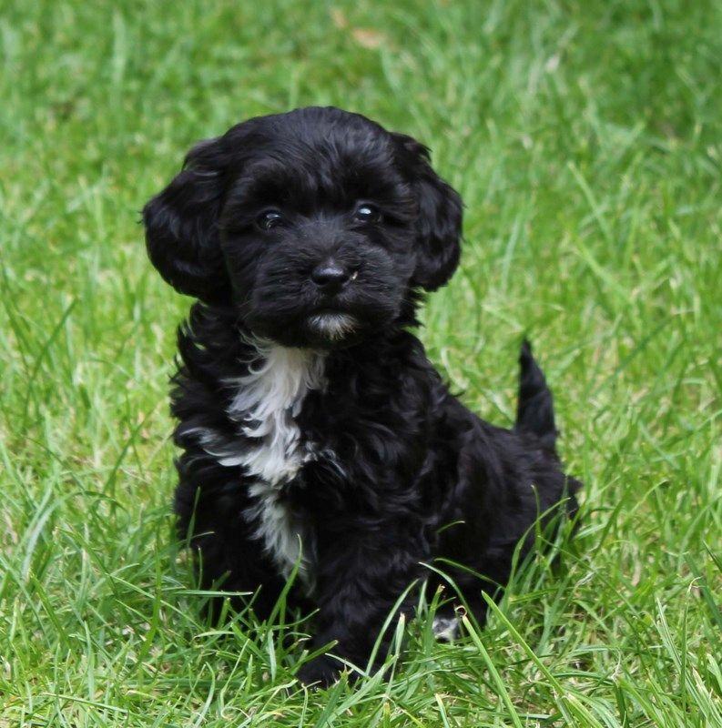 Miniature Poodle Cross Miniature Dachshund Poodle Mix Breeds