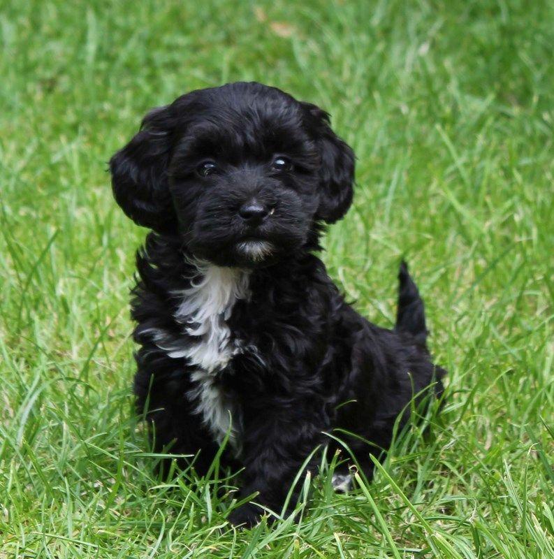 Miniature dachshund poodle cross | Fur & Finn | Pinterest