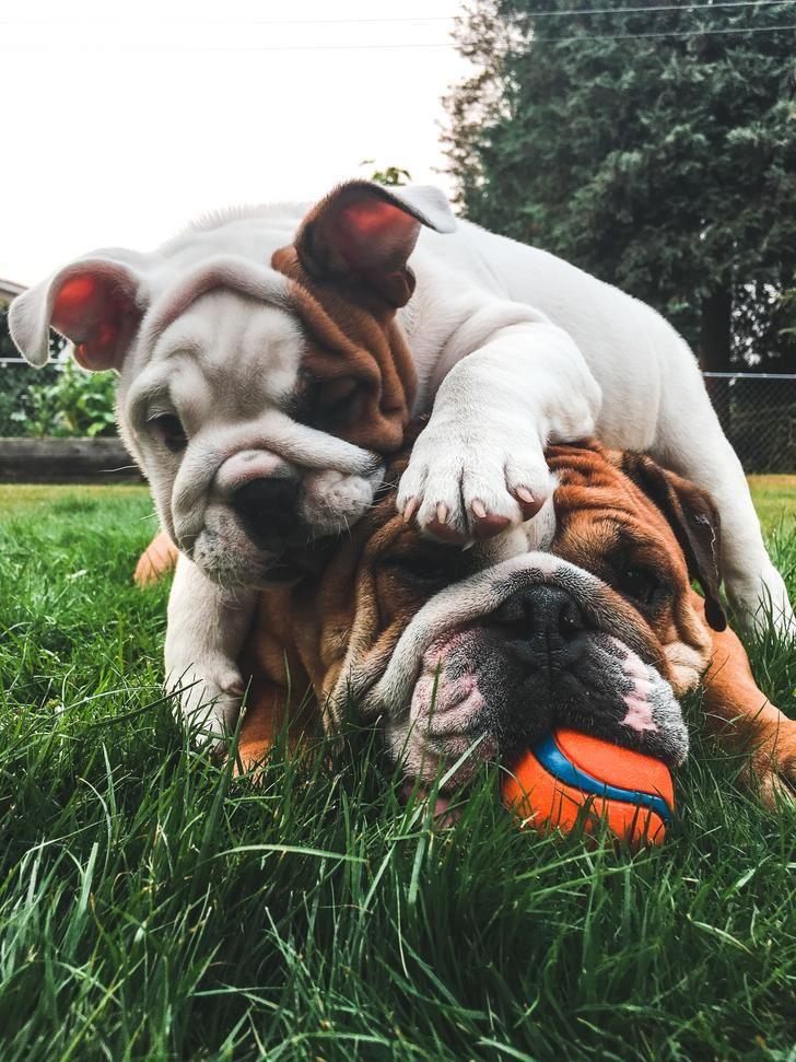 Wrinkles Stacked On Wrinkles Cute Post Bulldog Cute Posts Cute