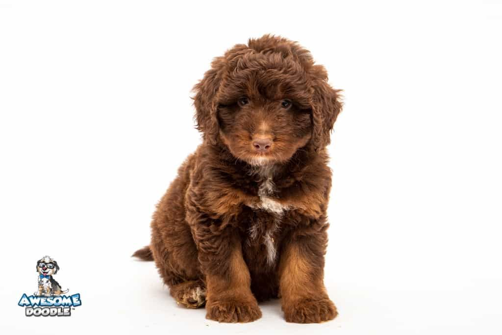 Red Phantom Aussie Doodle Puppy Named Scooter In 2020 Aussie Doodle Puppy Doodle Puppy Puppies