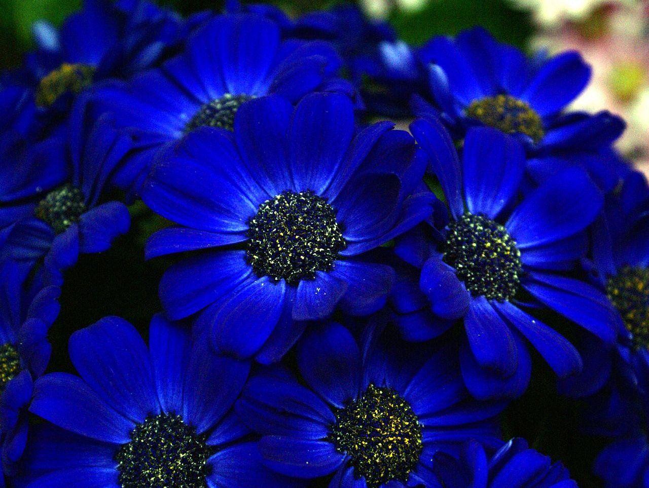 Blue flowers cineraria floral power pinterest flowers flower deep blue almost a midnight blue with dark centers izmirmasajfo