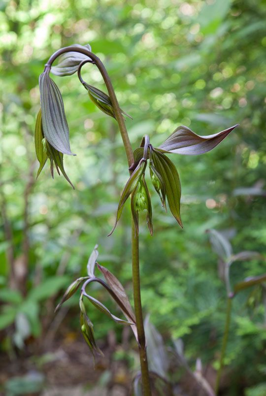 Disporum longistylum 'Night Heron' emerges with purple foliage before flowering in The Asian Woods.