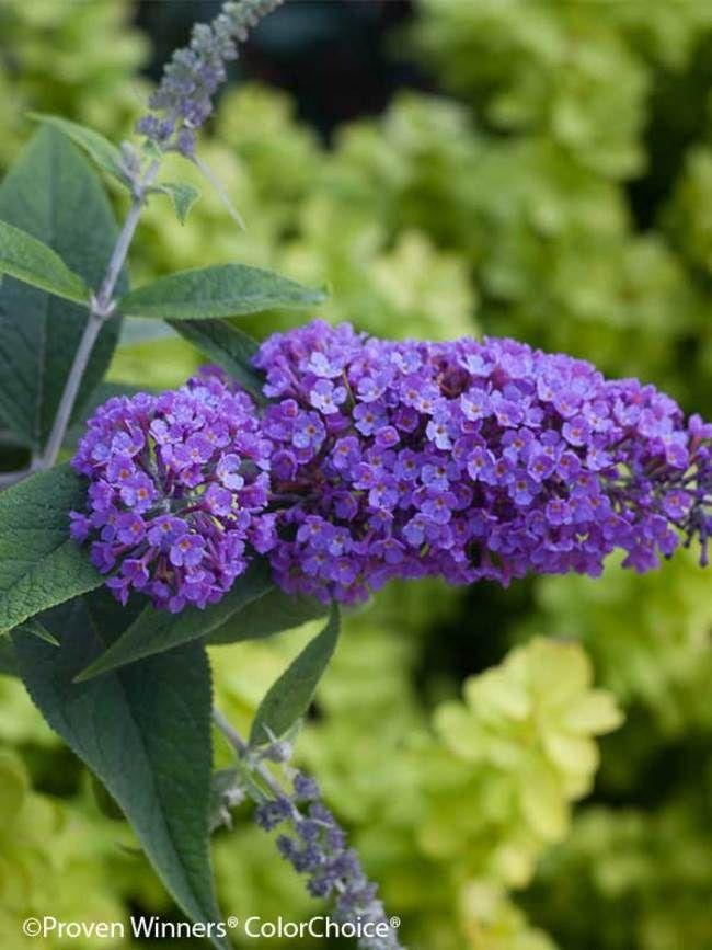 Buddleia Purple Haze Bluestone Perennials Butterfly Bush Plants Purple Haze