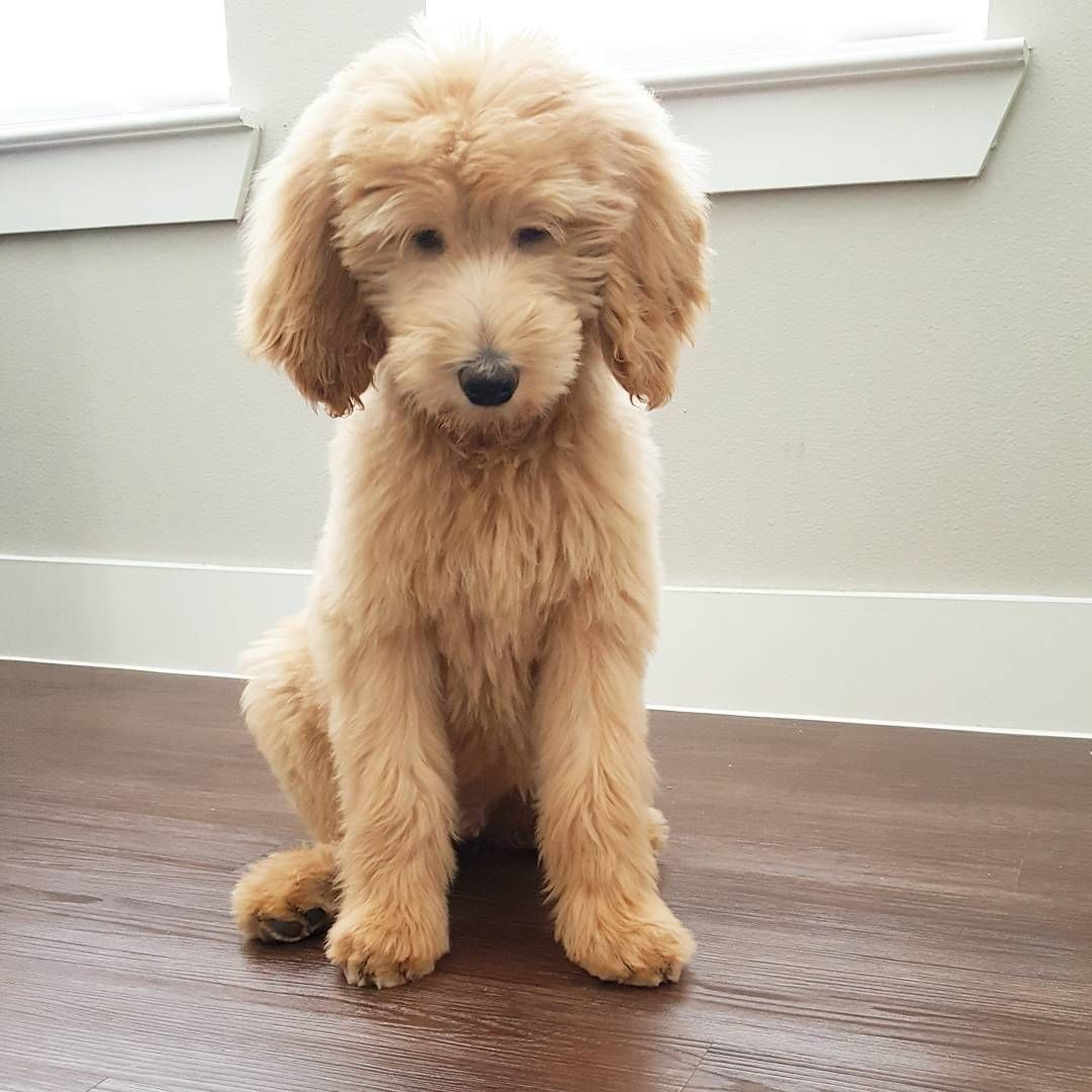 Goldendoodle Haircuts That Will Make You Swoon Lots Of Pictures