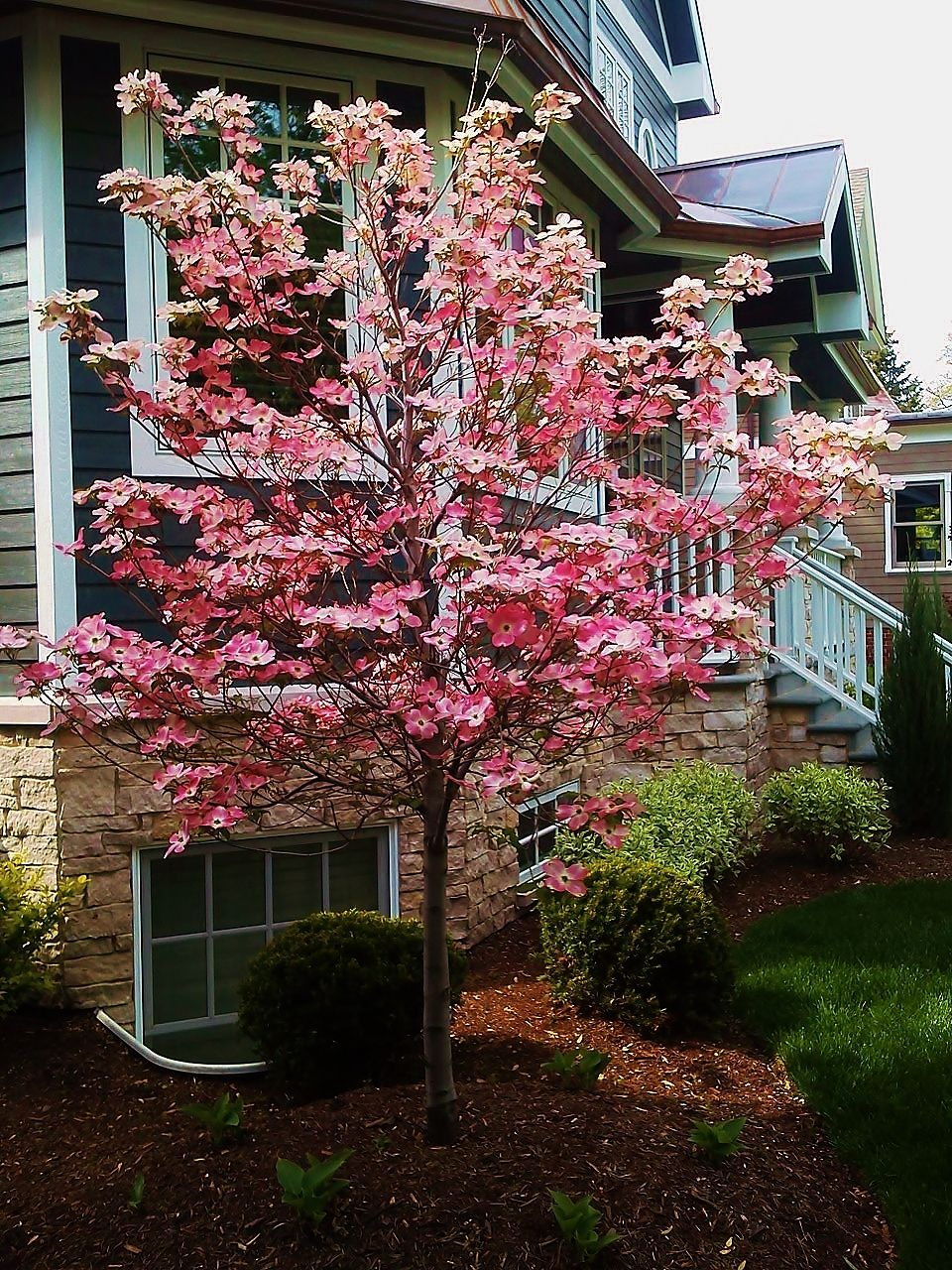 Hard not to love the Cherokee Brave Dogwood. It blooms for