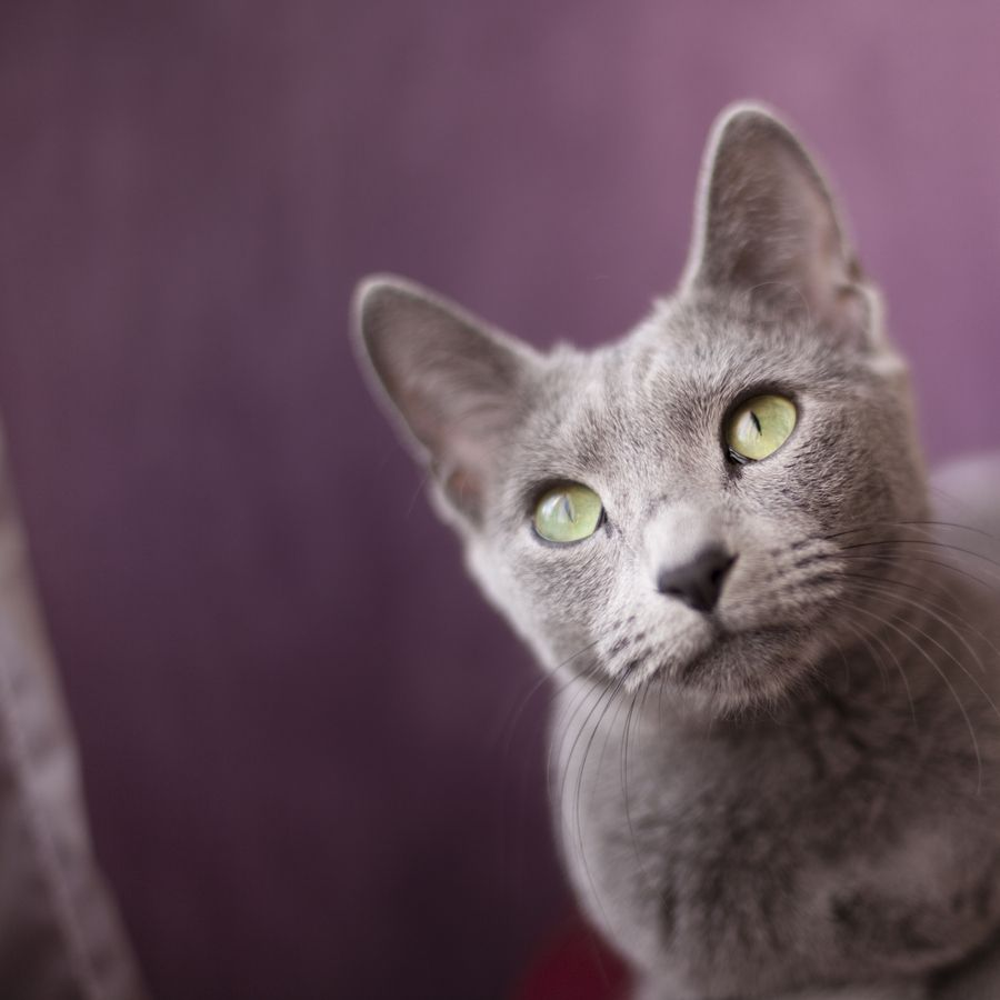 Russian blue by Fani Iglesias via 500px Caturday