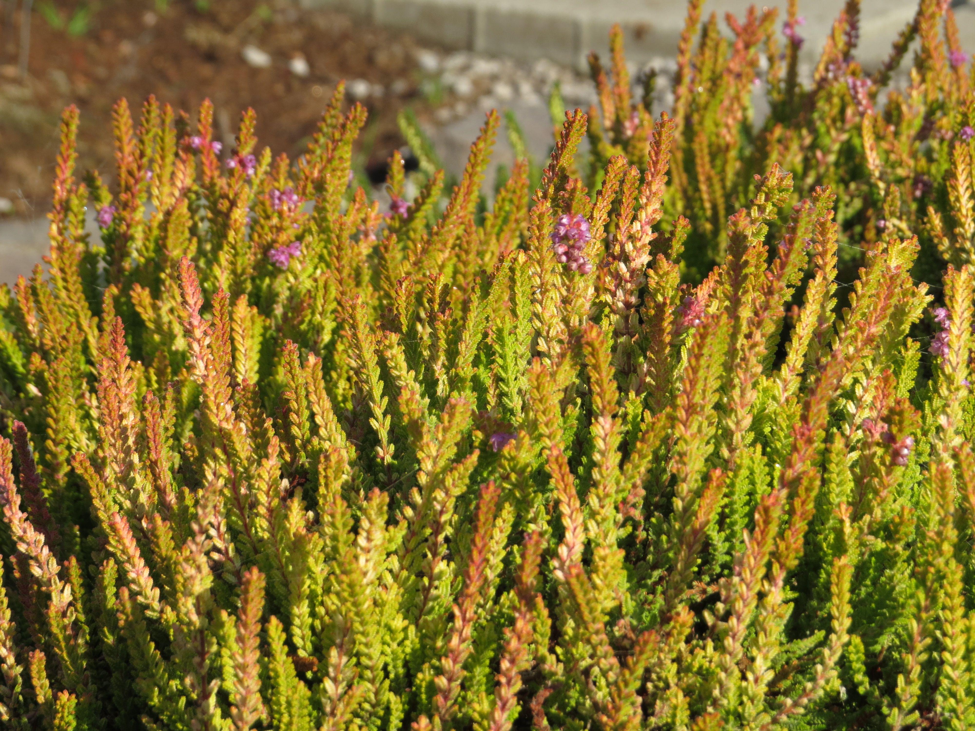 Calluna vulgaris punch s desert sb rkov v esovi t v for Calluna vulgaris
