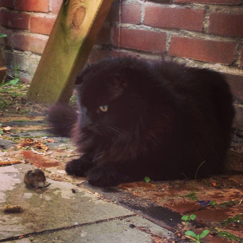Pin On Little Black Kitties