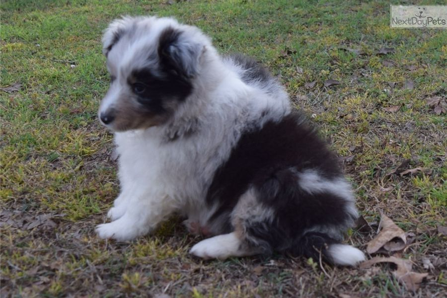 Shetland Sheepdog Sheltie Puppy For Sale Near Little Rock