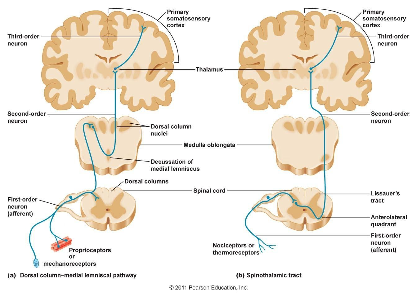 Sensory pathway – lateral spinothalamic – pain & temp - cross in SC ...