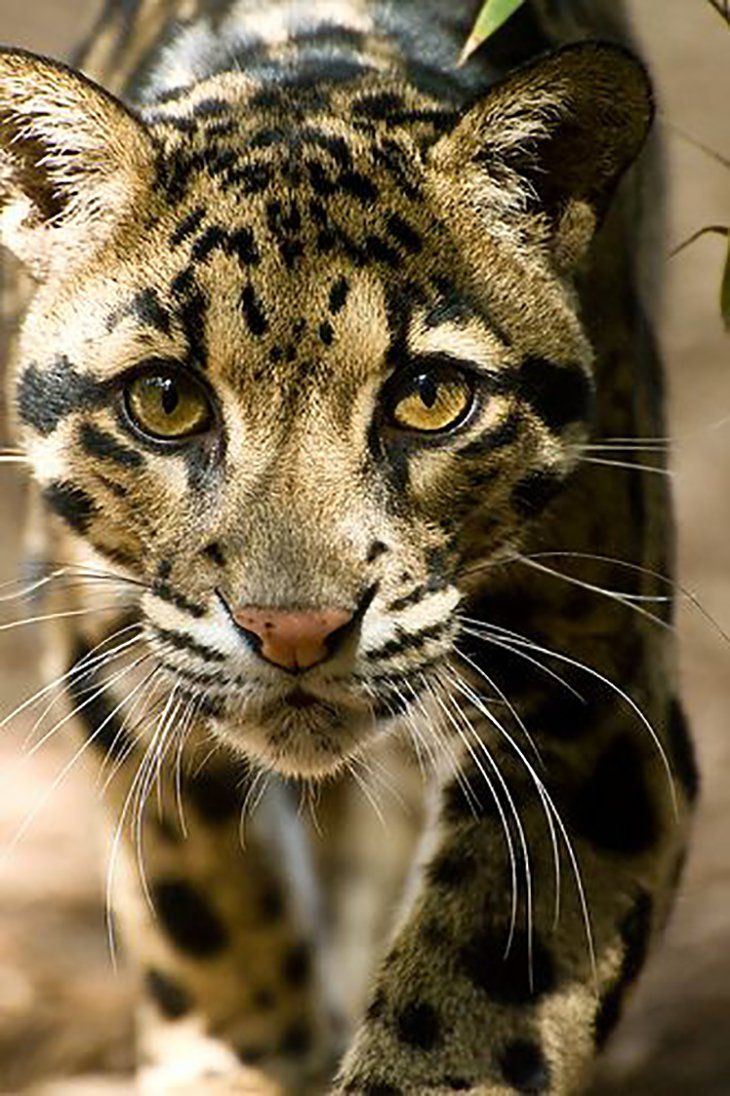 Top 10 Photos of Big Cats Animals, Clouded leopard, Cute