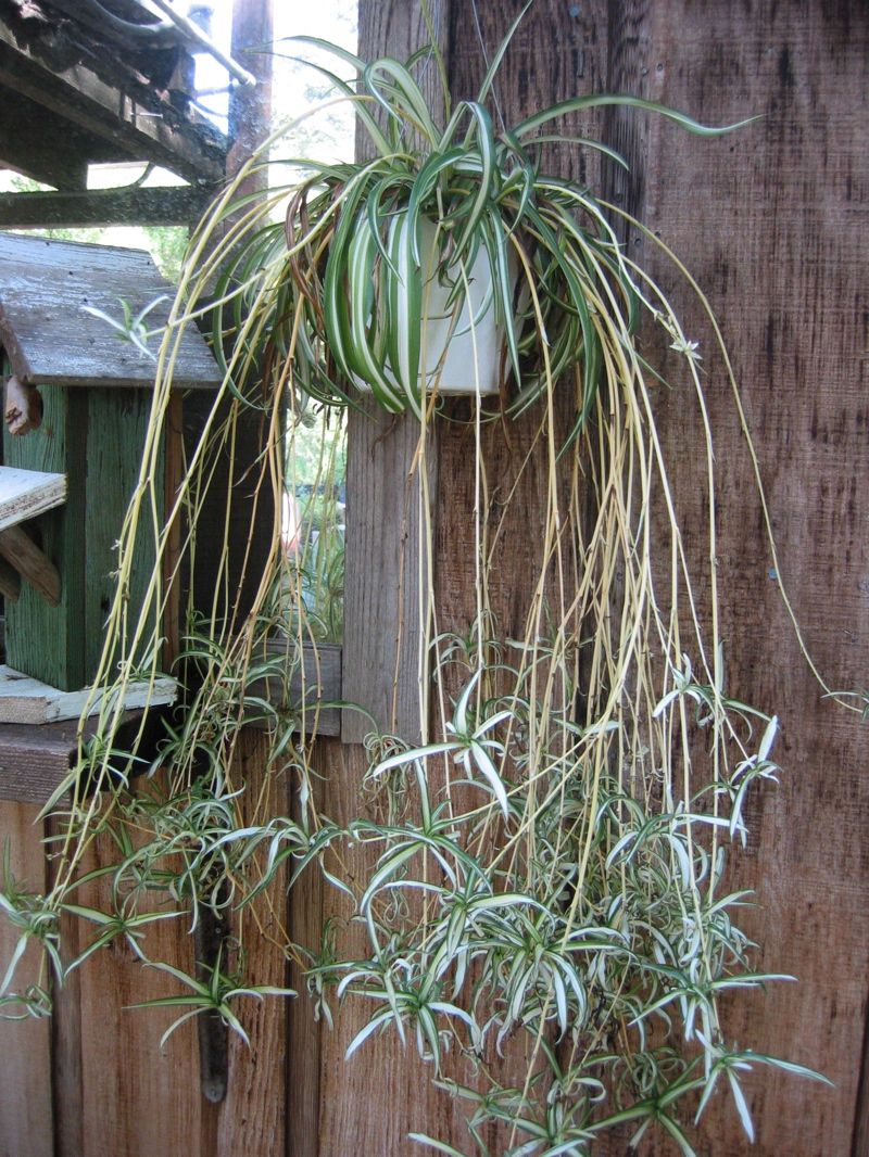 Spider Plant Or Airplane