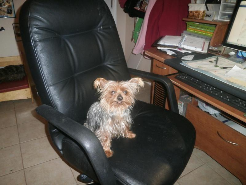 URGENT Fort Worth TX ID 35935941 Female Chihuahua in