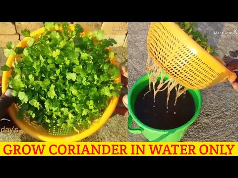 HOW TO GROW CORIANDER IN WATER GROW CORIANDER WITHOUT