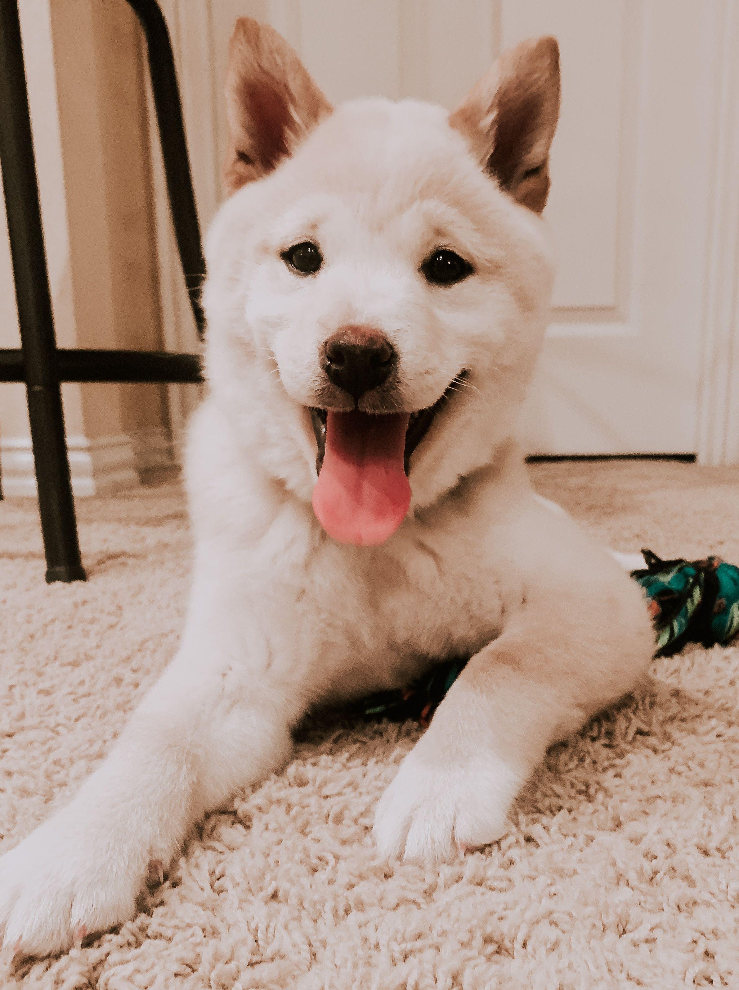 White labrador puppies for sale in california