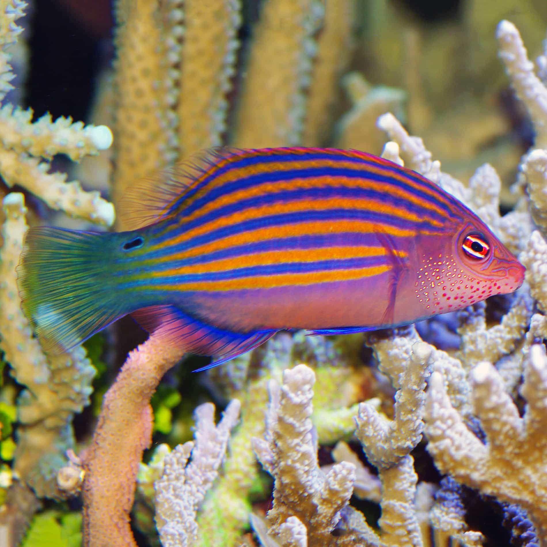 Pin By Aqualocker On Wrasse Reef Safe Live Rock Fish Rock