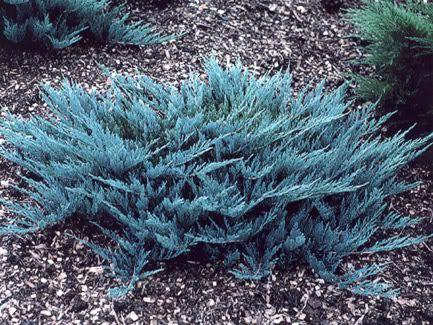 Blue Rug Juniper Junipero Juniperus Horizontalis Wiltonii Full Sun 6 Hours 1 X8