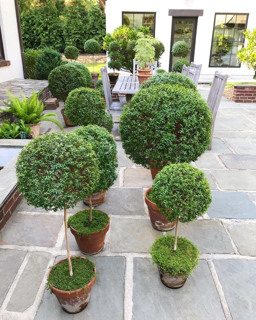 Tone On Tone Loi Thai On Instagram Myrtle Topiary Care