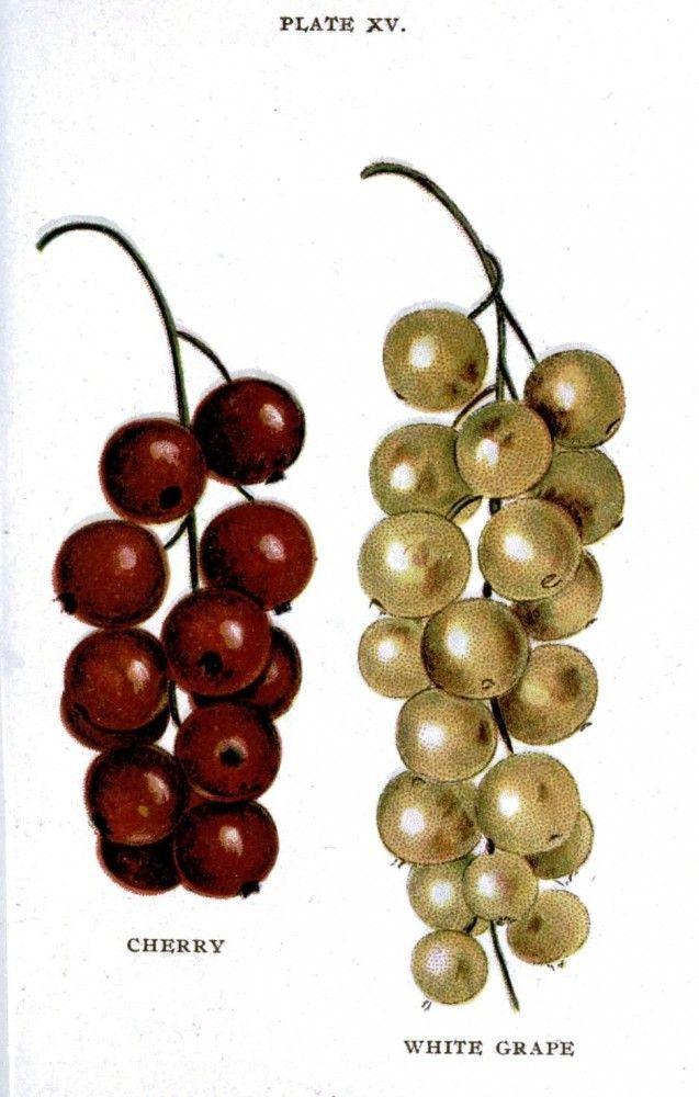 Botanical – Fruit – Biggles Berry Book -1899 – Berries (3)