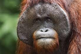 Image result for orangutan image
