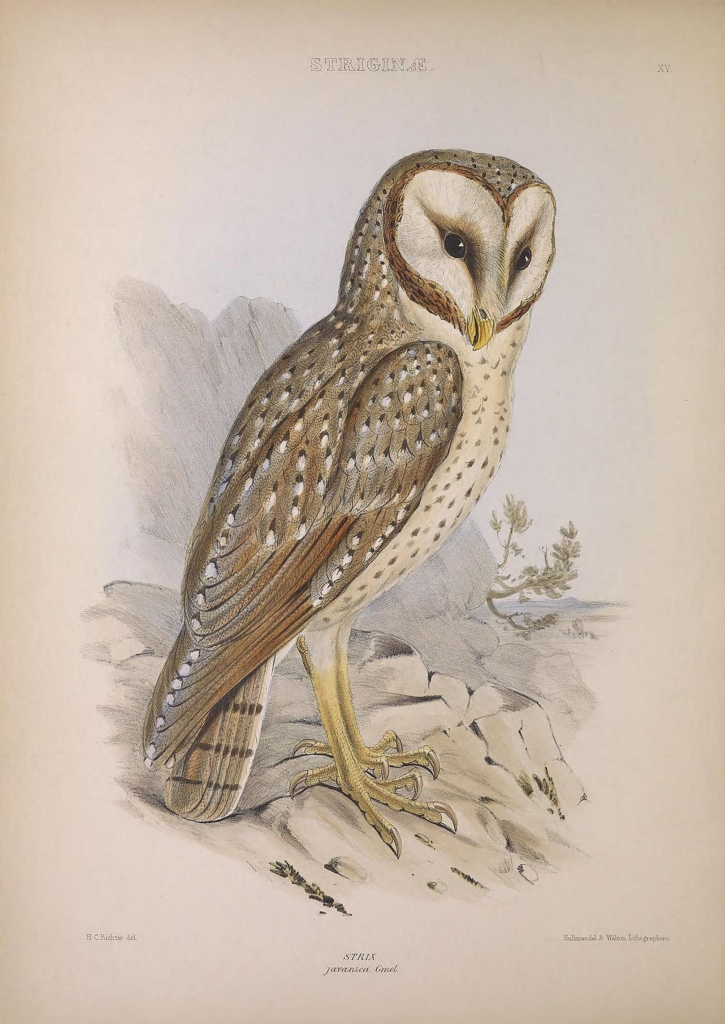 The genera of birds :. London :Longman, Brown, Green, and Longmans,1849.