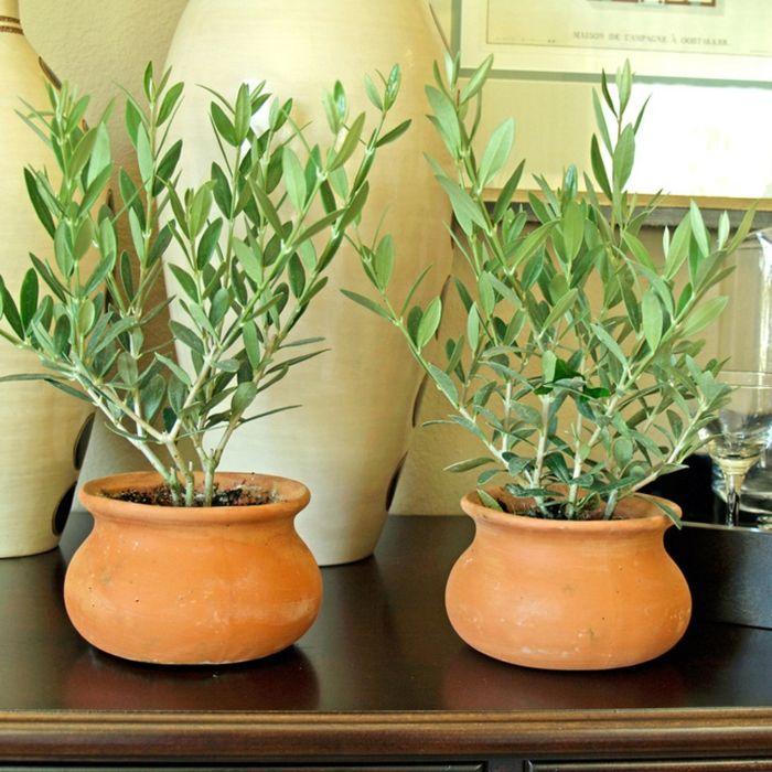olivenbäumchen gartenpflanzen pflanzenpflege olivenbaum Blumen - gartenpflanzen