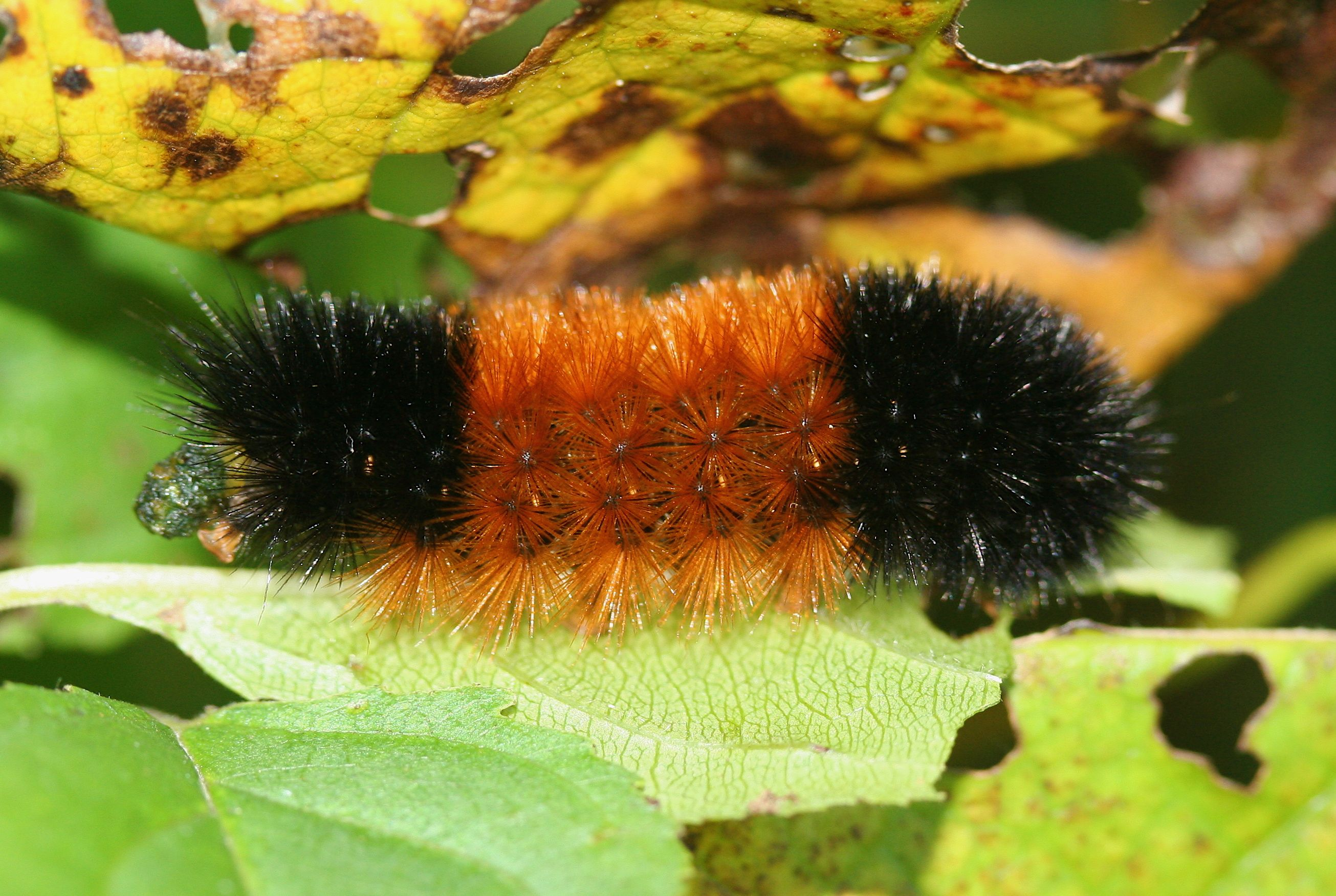 Wooly Bear Caterpillar Wooly Bear Caterpillar The Wooly Fuzzy Caterpillar