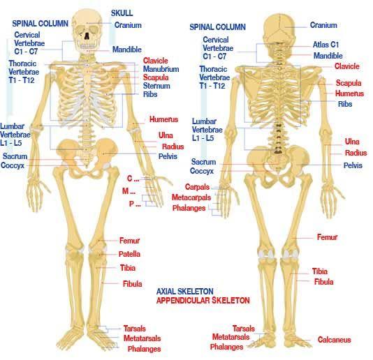 Free Human Anatomy Diagram Fig Human Anatomy Diagram S Keletal