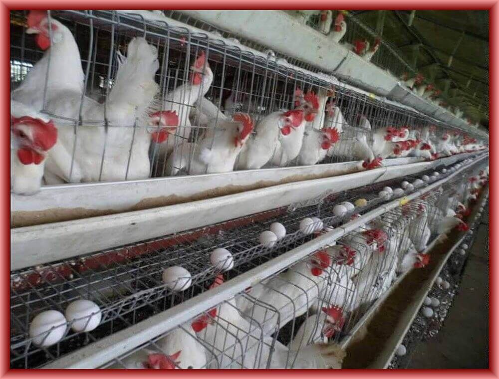 Vitamins and Minerals for Layer Poultry Poultry house